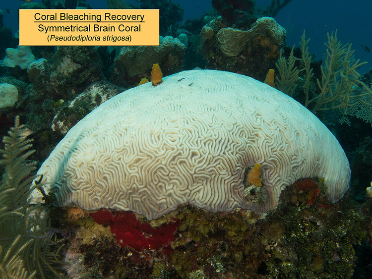 Symmetrical+Brain+Coral+1